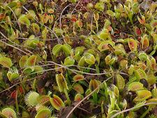 Carnivorous plant Dionaea muscipula, Venus Fly Trap, 50 seeds