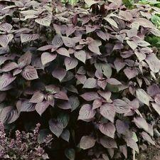 Végétale Perilla Shiso Vert 2 G ~ Env 1733 Graines