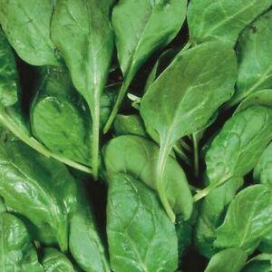Spinach Seeds - Freja F1