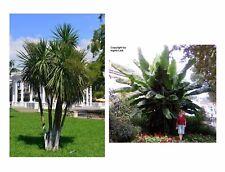 TOP Palmen-Set für Haus und Garten: die Keulenlilie und die Bananenstaude !