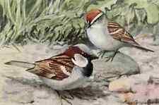 A4 Photo Fuertes Burgess Bird Sparrows Print Poster