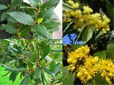 20 Laurus Tree Seeds Blended Bay Leaf is a Noble Plant for Home & Garden Bonsai