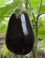🍆 20 Samen Aubergine Black Beauty Eierfrucht Schwarze Schönheit robuste Sorte