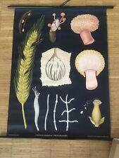 Lehrtafel Lehrkarte Schulwandkarte Hagemann Mutterkornpilz (Blume Flower)