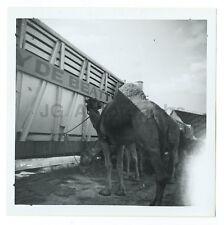 Clyde Beatty Circus - Camel - Original Vintage Snapshot Glossy Photograph