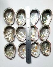 One Natural Abalone Sea Shell for Smudging Accent Decoration Avg size 3.5 inch