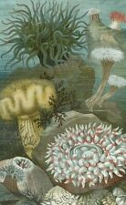 Sea anemones,...Antique lithograph...1898
