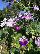 Japanese Morning Glory-Purple Flaked-Purple & White Blooms-12 seeds-2017