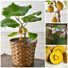 Kiwi Seeds Dwarf Bonsai Fruit Plants Tree Potted Home Garden