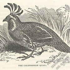 Californian Quail: antique 1866 engraving print: bird picture animal drawing art
