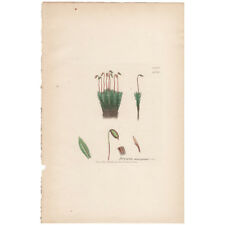 Antique 1841 Sowerby hand-colored engraving Pl 1508 Thick-edged Thyme-Moss