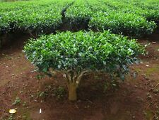 30 Green Tea Plant Seeds - Camellia sinensis, also known as Tea Plant, Tea Tree