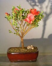 """Tropical Red Azalea Bonsai Tree Rhododendron Red Vivid 8 years old 12"""" tall"""