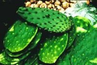 Spineless Prickly Pear Cactus PadsSelect QuantityNopales Opuntia Cacanapa