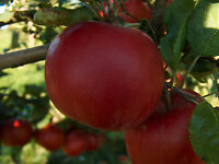 Established Gala Apple Tree Semi-Dwarf Healthy 1 Gallon Trade Pot 1 Each by Growers Solution