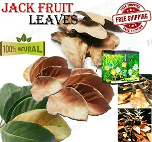 Ceylon Dried Jackfruit Leaves BioFilm Organic Shrimp Aquarium Care