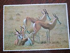 "VINTAGE POSTCARD "" THE GRACEFUL SPRINGBOK "" LION PARK JOHANNESBURG SOUTH AFRIA."