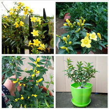 100Pcs Garden Yellow Jasmine Seeds Light Fragrant Potted Flower Plant Top