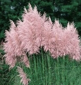 Pampas Grass- Pink- 3 Plugs