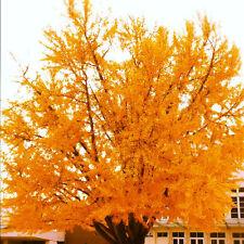 50 Ginkgo Tree Seeds, (Ginkgo biloba), Great city, park, yard tree