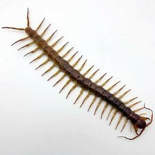 HUGE Centipede 22CM (Scolopendra subspinipes) Insect Collector Specimen Thailand