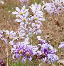 Leucocoryne vittata or Andean Glory of the Sun Lily 10 seeds Free Ship