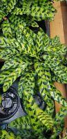 "Calathea Lancifolia Rattlesnake Live plant in 6 "" growers pot planta interior"