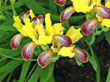 Iris variegata Hungarian Iris 5 seeds