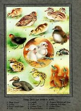 1923 COLOURED BIRD PRINT ~ 12 VARIOUS YOUNG BIRDS PUFFIN COOT ~ ROLAND GREEN