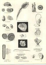 1854 Engravings Pyrosoma Amaroucium Molluscs