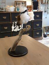 Präparierter Weißer laughingthrush Vogel