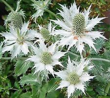 30+ SILVER ALPINE SEA HOLLY (ERYNGIUM) SILVER GHOST  FLOWER SEEDS /PERENNIAL