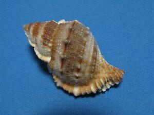 "Bufonaria (Bufonaria) subgranosa (Sowerby, 1836) ""EXCEPTIONAL!""  (58.7mm)"