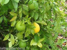 10 Pcs Giant Key Lemon Seeds Organic Farm Frsh Healthy Fruit Seeds,Giant Fruits