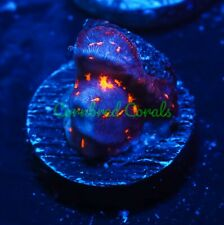 New listing Cornbred's Ultimate Tron Lepto - Wysiwyg - Frag - Live Coral