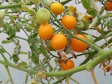 Tomato Seeds 25 Sunsugar Seeds Sun Sugar Tomato
