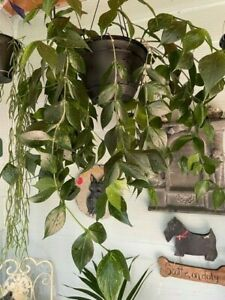Hoya polyneura - fishtail - a cutting off my 30 year old mama plant
