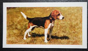 Beagle Hound    Vintage 1960's Colour Photo Card ## EXC