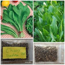 Chicory ''Spadona'' ~250+ Top Quality Seeds - Extra Early - Special for Salads