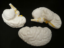 Human Brain Anatomical Medical Model - Life Size Anatomy