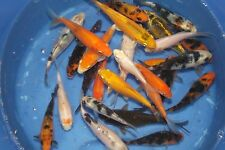 "3-6"" Fully Scaled Standard Koi Fish $20 Ship To 10 States Live Koi Koiz-r-us"
