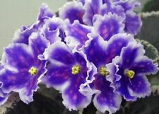 African Violet Vat Tsar Goroh Rus / Ukr ,plant in 3 oz cup