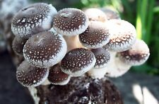 Root Mushroom Farm—Shiitake Mushroom Growing Kit / starting right away