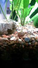 20 Gold Leopard Ramshorn Snails