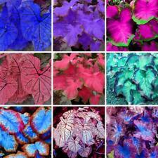 100PCs Caladium Bicolor Seeds 14 Colors Rare Bonsai Plants in Home Garden Decor