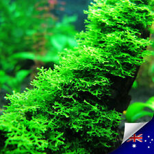 Aquarium Live Plant Coral Pellia Moss For Shrimp & Fish Tank