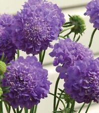 F0823 Scabiosa Oxford Blue x20 seeds