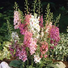 Verbascum - Phoeniceum Hybrids - 3000 Seeds