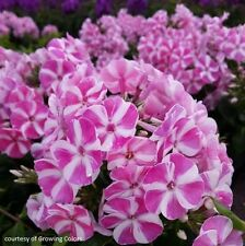 "phlox BAMBINI CANDY CRUSH new disease-resistant 3"" pot ☆1 Live Potted Plant☆"