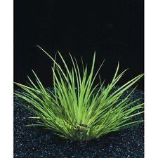acorus pusillus plante avant plan aquarium bassin terrarium